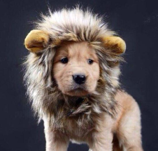犬 用猫用ライオンのかぶりもの